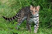 撿到一隻身價上萬的超瘦流浪豹貓?半年後…我驚到哭了!
