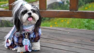 西施犬散步偶遇美容師,它眼睛瞪得像銅鈴,驚訝到哭